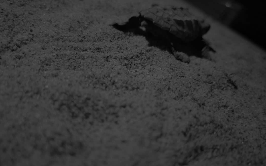 Salgono a quota 175 i cuccioli di tartaruga marina nati da metà agosto ad oggi