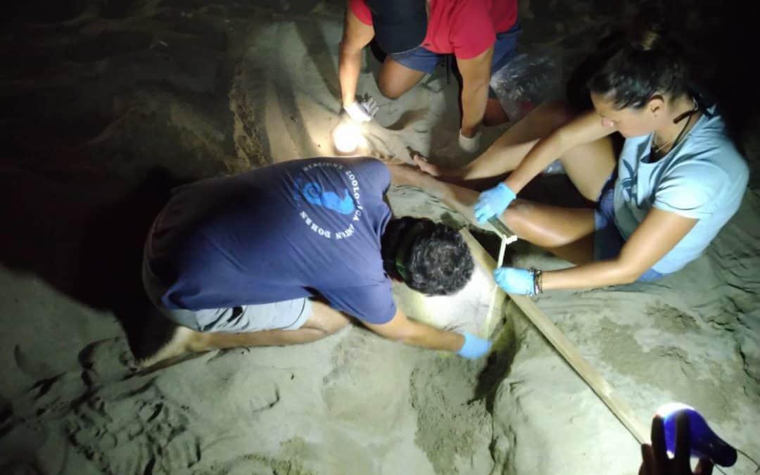 Trovati vivi altri dieci cuccioli di tartaruga marina nel secondo nido di Ascea