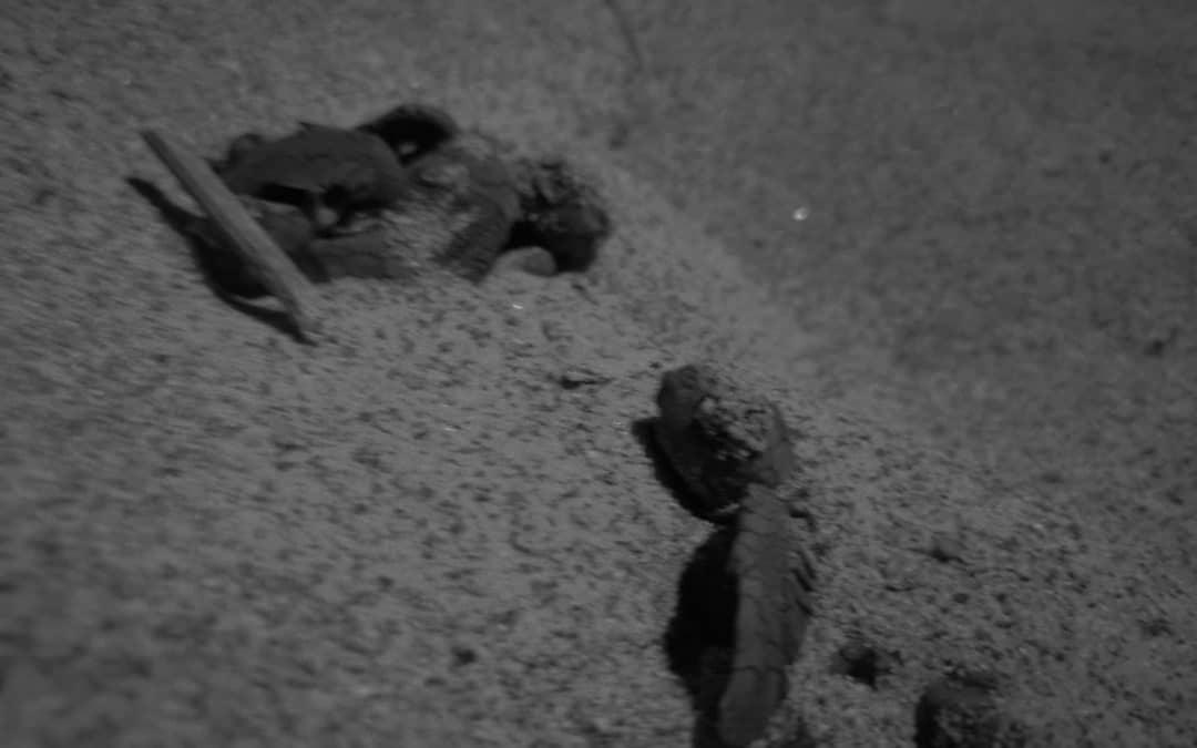 Iniziata la schiusa del terzo nido di Ascea