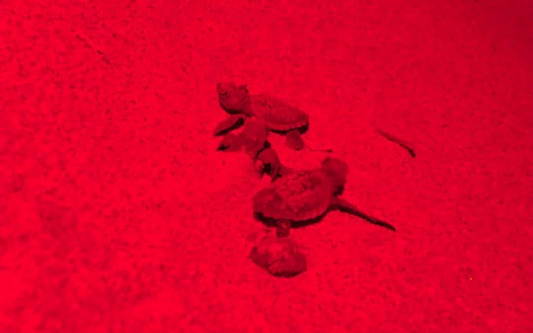 Nuova emersione di tartarughe marine ad Ascea