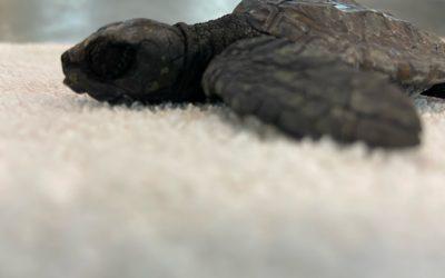 Loto, Iris, Diego ed Eleonora le prime quattro tartarughe marine del 2021 ospiti del Turtle Point della Stazione Zoologica Anton Dohrn